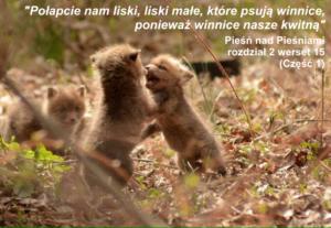 'Połapcie nam liski, liski małe...' - część 1
